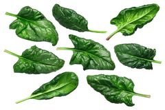 Spinach s. oleracea leaves, paths. Spinach leaves, fresh Spinacia oleracea, top view Royalty Free Stock Photo
