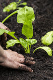 Spinach Seedling Royalty Free Stock Images