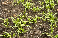 Spinach seedlings. Many green spinach seedlings on soil in field Stock Photo