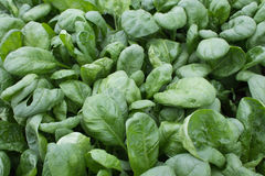 Spinach (Spinacia oleracea) Royalty Free Stock Photography