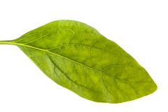 Spinach Spinacia oleracea. Isolated in white background Stock Photo