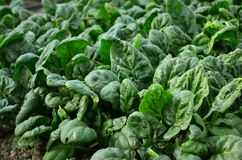 Spinach. During spring in a greenhouse stock photo