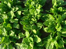 Spinach vegetable bed Royalty Free Stock Images