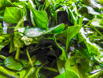 Spinach is washed in the sink. Close up of fresh spinach washed in the sink Stock Photo