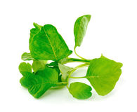 Spinach on white background Stock Photos