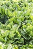 Spinachs Zdjęcie Stock