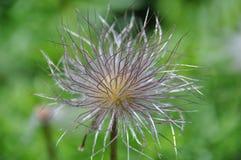 Spinachtige Bloem royalty-vrije stock afbeelding