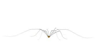 Spinachtige van papa de lange benen stock fotografie