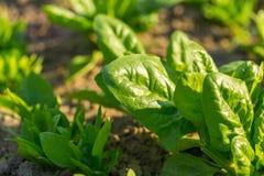 Spinaci che crescono nel giardino Fotografia Stock Libera da Diritti