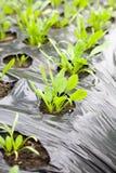 Spinaci crescenti Fotografie Stock