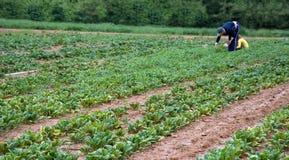 Spinaci di raccolto Fotografia Stock Libera da Diritti