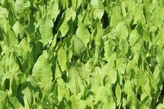 spinaci generici Fotografia Stock Libera da Diritti