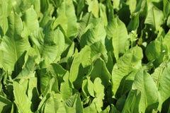 spinaci generici Fotografie Stock Libere da Diritti