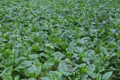 Spinaci organici Immagini Stock Libere da Diritti