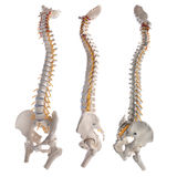 Spinal column Stock Photography
