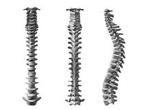Spinal cord. Human part skeleton Stock Photos