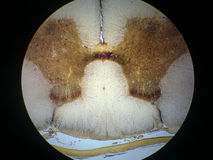 Spinal cord cross section Stock Image