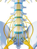 Spinal cord. 3d rendered illustration - spinal cord Royalty Free Stock Photos