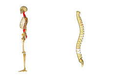 Spinal cord. The spinal cord is a long, thin, tubular bundle of nervous tissue and support cells that extends from the brain (the medulla oblongata specifically Royalty Free Stock Image
