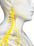 Spinal cord and upper nerves Stock Images