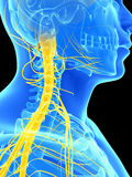 Spinal cord and upper nerves Royalty Free Stock Photography