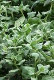 Spinat frisch auf dem Gartenbett Lizenzfreie Stockbilder