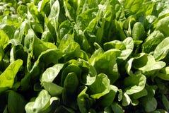 Spinat-Getreide Stockfoto