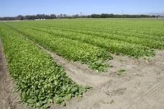 Spinat-Getreide Lizenzfreies Stockbild