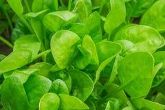 Spinat im Garten Stockbild