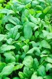 Spinat im Garten Stockfoto