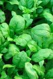 Spinat im Garten Stockfotografie