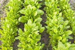 Spinat im organischen Gemüsegarten. stockfotos