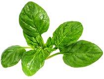 Spinat lokalisiert auf einem Weiß Stockfotos