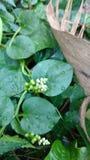 Spinat oder Basella Alba Malabar Stockbild