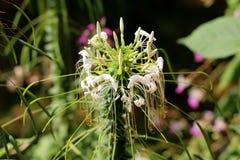 Spinbloem of Cleome-hassleriana jaarlijkse bloeiende installatie met gesloten witte bloemen en stamens aanvang om op donkergroen  stock afbeelding
