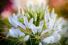 Spinbloemen of CLEOME SPINOSA LINN, close-up Royalty-vrije Stock Foto