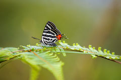 Spindasis syamaClub Silverline bufferfly na zielonym liściu Zdjęcie Royalty Free
