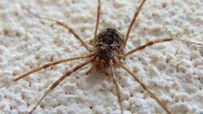 Spindel älskvärda djur, grek arkivbild
