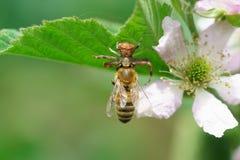 Spindel-dragen tillbaka lat Thomisidae äter en bilat Anthophila på blomman av den trädgård stor-bar frukt Blackberry laten Rubus royaltyfria foton