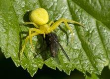 Spindel-dragen tillbaka Misumena vatia Arkivbilder