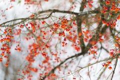 Spindel- eller euonymusfilial med frukter i vinter Arkivfoton
