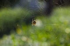 spindel för araneusdiadematusträdgård Royaltyfri Foto