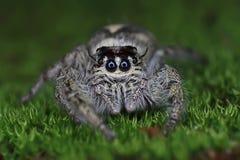 Spindel för Hyllus diardibanhoppning på den mossiga gräsplanen Arkivbilder