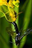 spindel för krabba för bi fångande solitory fotografering för bildbyråer