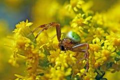 Spindel för röd och grön krabba på gula blommor royaltyfri foto