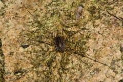 Spindel för Rilaena triangularislockespindel från över royaltyfri bild