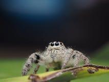 Spindel för Salticus scenicusbanhoppning Royaltyfri Bild