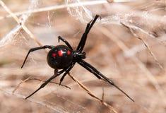 Spindel för svart änka utomhus Arkivfoton