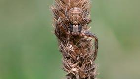 Spindel för Xysticus cristatuskrabba på gräs lager videofilmer