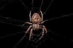 Spindel i hennes rengöringsduk Arkivfoton